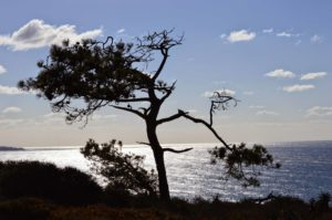 Torrey Pines State Reserve - Sculpted Tree