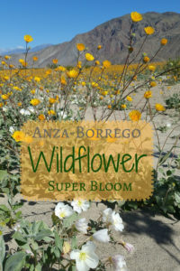 Anza Borrego Willdflower Super Bloom - Striking photos of the wildflowers