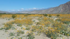 Borrego - Unending wildflower super bloom