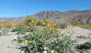 Borrego - Wildflower super bloom 2