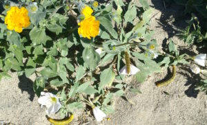 Borrego - Wildflower super bloom - Hungry caterpillars