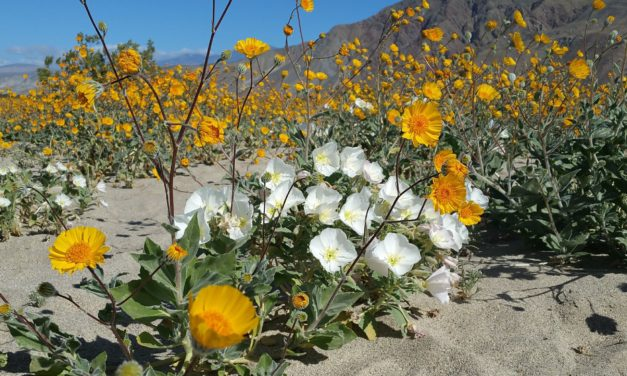 Anza-Borrego Wildflowers Super Bloom